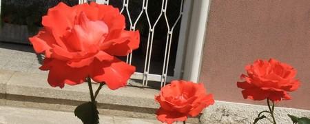 2 rosas alaranjadas