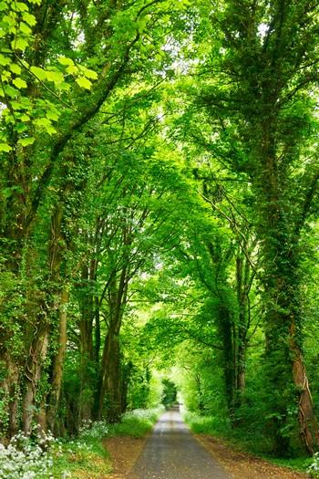 caminho entre árvores esguias e muito verdejantes