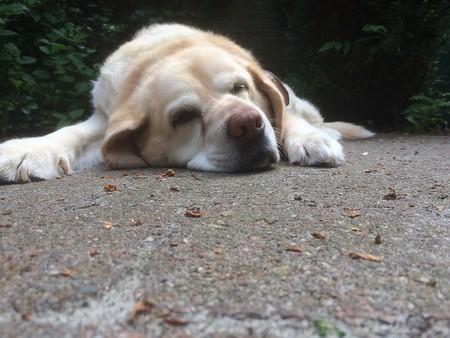 labrador velhinho deitado vendo-se só a cabeça