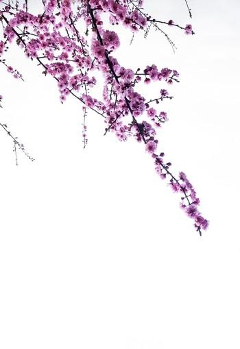 ramos de buganvília em flor sobre fundo branco