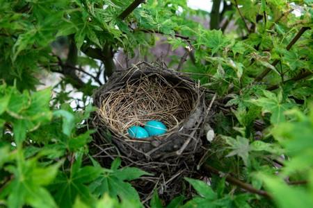 dois ovos azuis no ninho