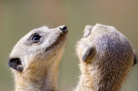 duas cabeças de suricatas