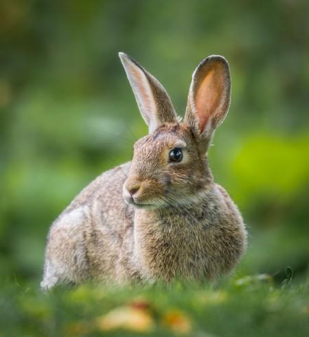coelho castanho no prado