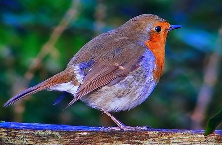 passarinho azul de papo vermelho e asas castanhas