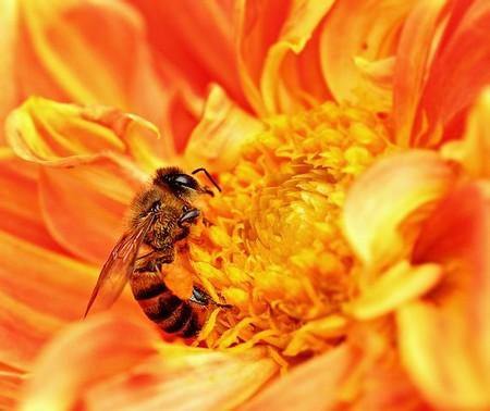 abelha retirando pólen de rosa em tons de ouro