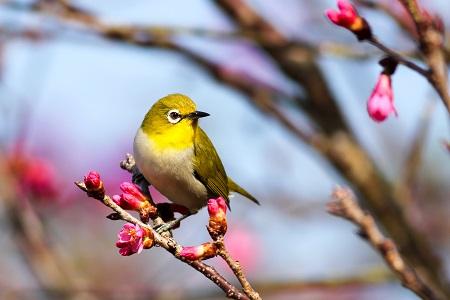 pássaro em tons de verde e amarelo em ramo de árvore japonesa rosa vivo