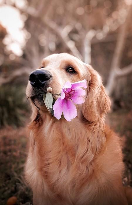 cão setter com flor rosa na boca