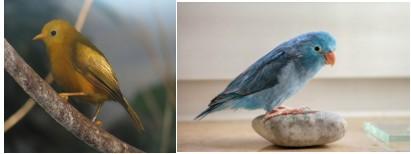 pássaros dourado e azul