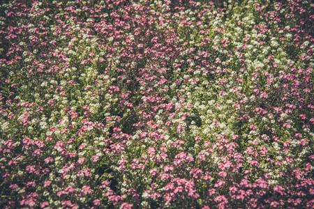 flores enchem o campo de branco e rosa