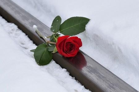 rosa vermelha sobre um carril na neve