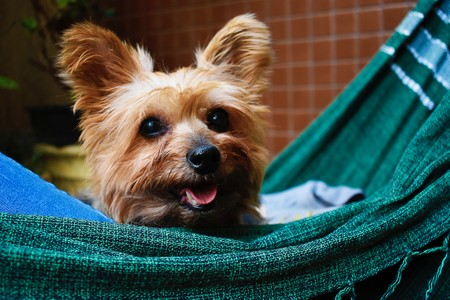 yorkshire terrier numa rede verde