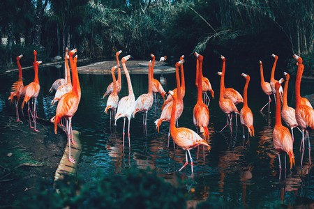 flamingos no lago