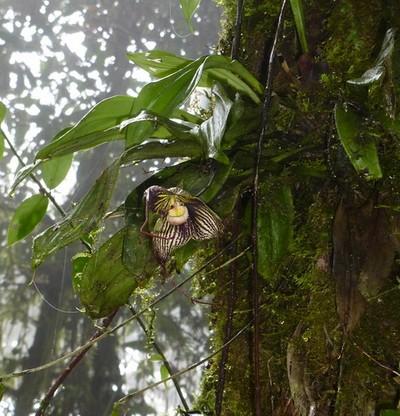 orquídea drácula vampira