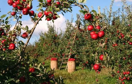 colheita de maçãs