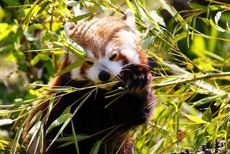 panda vermelho comendo bambu