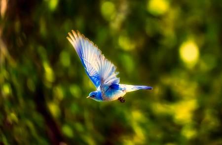 pássaro azul voando